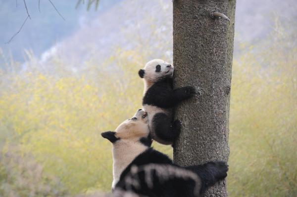 母パンダの「喜妹」と一歳の子どもと遊んでいる=臥龍・四川省、2016年1月