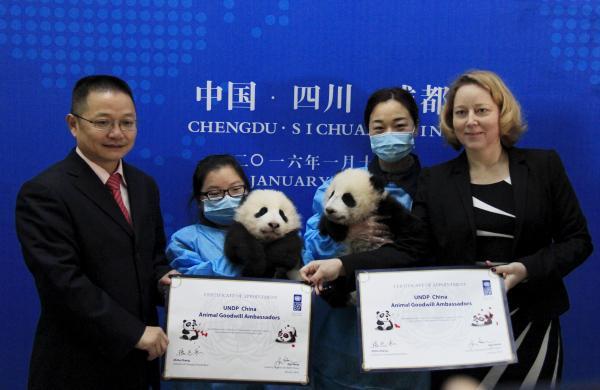 パンダの赤ちゃんの双子が国際連合開発計画(UNDP)の大使に=成都・四川省、2017年1月
