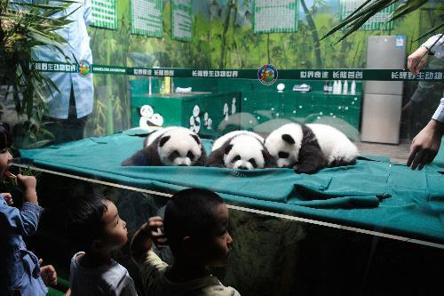 初公開された三つ子のパンダ=2014年11月5日、中国・広州の長隆野生動物ワールド、延与光貞撮影