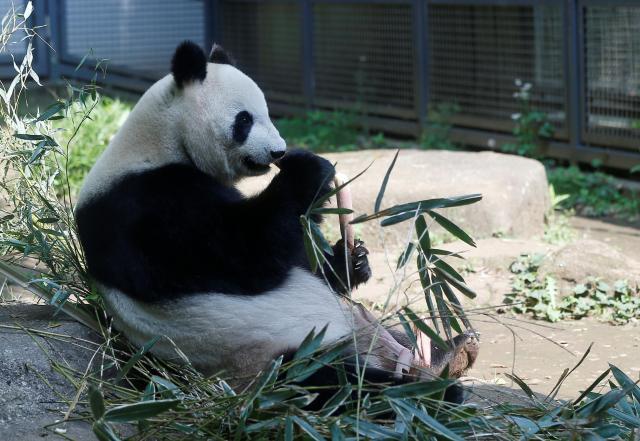 妊娠中だと思われたパンダのシンシン=上野・東京、2017年5月