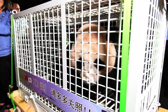 日本生まれのパンダ「優浜」が中国に帰国したときの様子。カゴには日中両国の国旗と、「優浜です。どうぞよろしくお願いいたします」と書かれています=成都・四川、2017年6月