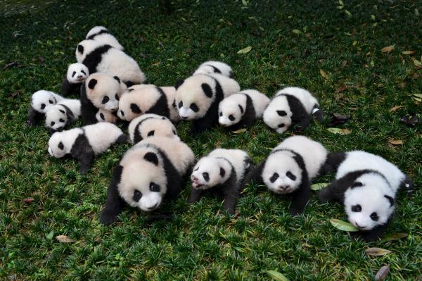 芝生の上に置かれた2015年生まれのパンダの赤ちゃんたち=雅安・四川省、2015年10月