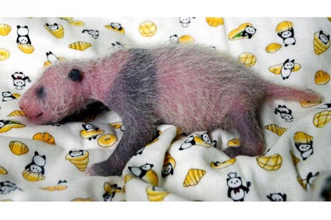 雌とわかったパンダの赤ちゃん。生後10日目で耳や目の周り、肩から前脚にかけてが少しずつ黒くなってきた=2017年6月22日、上野動物園、東京動物園協会提供