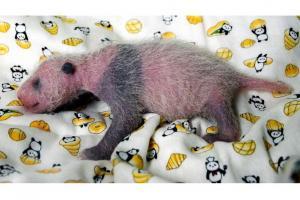 パンダの繁殖、どんだけ大変? 上野は騒ぎすぎ…ではない歴史的理由