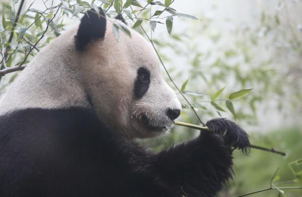 竹を食べているパンダの「甜甜」=エディンバラ・スコットランド、2016年4月