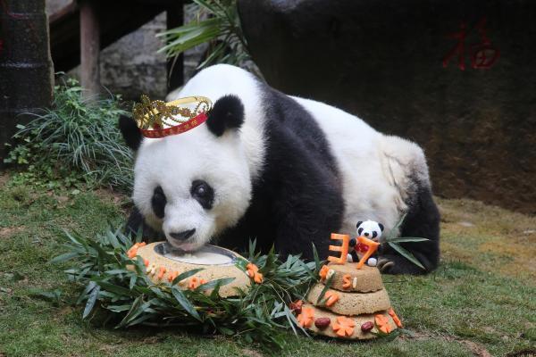 生きている最も長寿のパンダ「巴斯」、37才の誕生日を祝いました=福州・福建省、2017年1月