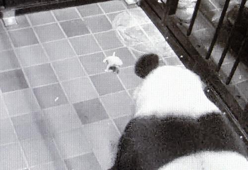 身体検査が終わり、産室に戻された赤ちゃんに近づく母親のシンシン=2017年6月18日、上野動物園、東京動物園協会提供