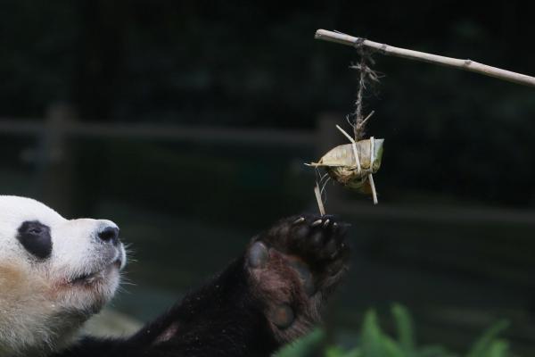 粽を食べようとするパンダ=深セン・広東、2017年5月