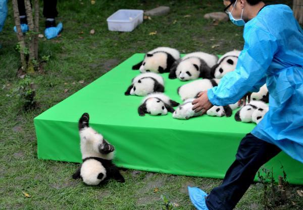 2016年に生まれた23頭のパンダの赤ちゃんたち、一頭が舞台から落ちてきた=成都パンダ生殖研究基地、四川省、2016年9月