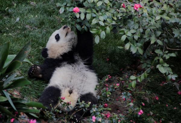 遊んでいるパンダの赤ちゃん=成都・四川省、2017年1月