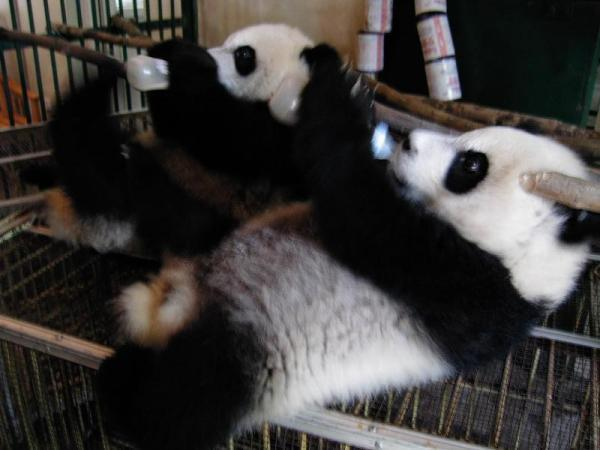 ミルクを飲む慶慶の孫パンダ=2003年8月、中国四川省・成都大熊猫繁育基地で