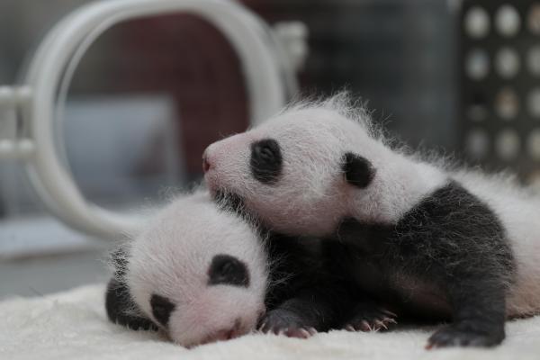 保育器に育てられた生後一カ月の双子の赤ちゃん=成都・四川省、2017年5月