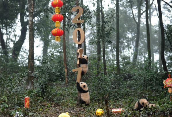 パンダの赤ちゃんたちが木に登り、お正月の祝いをする=雅安・四川省、2017年1月