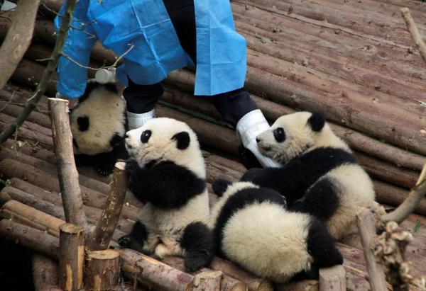 飼育員の足を引っ張るパンダの赤ちゃんたち=成都・四川省、2017年1月