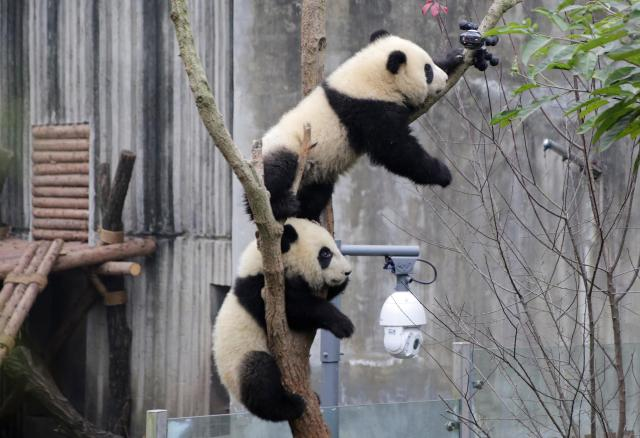 防犯カメラに興味津々のパンダの赤ちゃん=成都・四川省、2017年1月