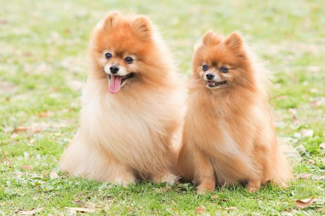 微笑む2匹のポメラニアン。犬のベタな名前にもお国柄がありました…