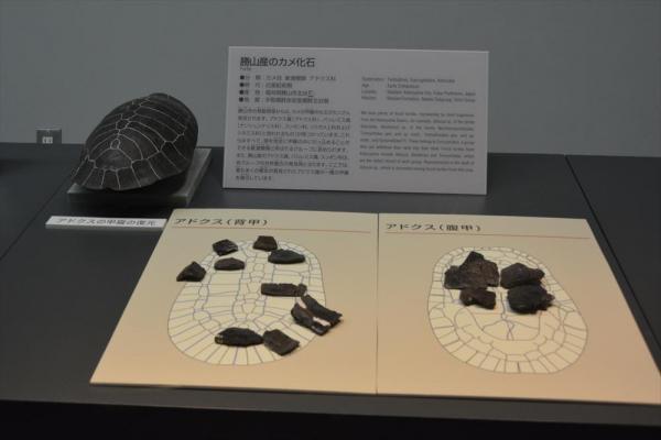 福井県立恐竜博物館のカメの展示コーナー