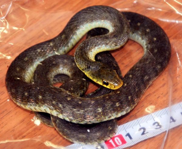 兵庫の小5をかんだヤマカガシとみられるヘビ=兵庫県警伊丹署