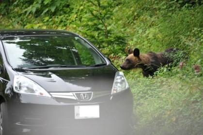 無人のレンタカーの車内をのぞきこむ若いヒグマ