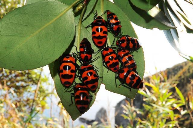 ツバキの葉の裏で集団越冬中のオオキンカメムシ=高知県土佐清水市足摺岬