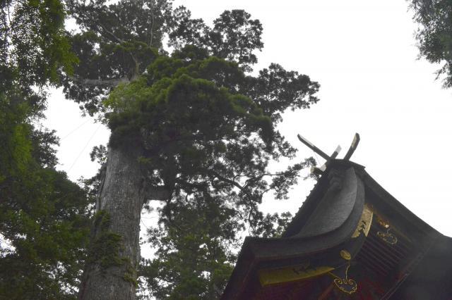 鹿島神宮の御神木=茨城県鹿嶋市、野口みな子撮影