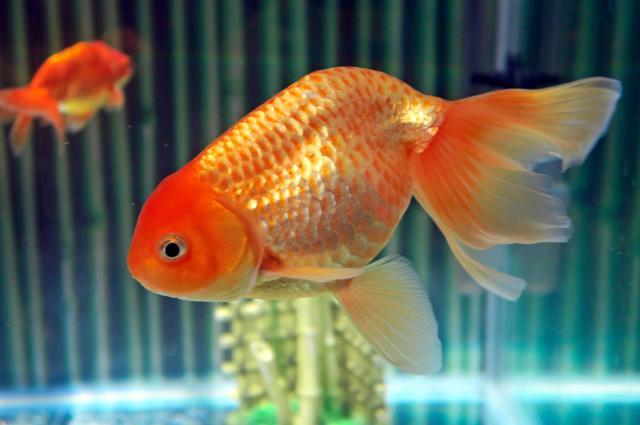 金魚ねぶたのモデルになった津軽錦=青森県営浅虫水族館提供