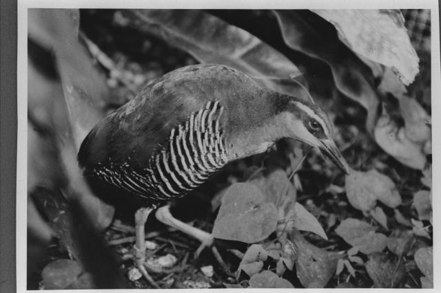 グアムクイナ。全身は約28センチ=グアムで1989年撮影