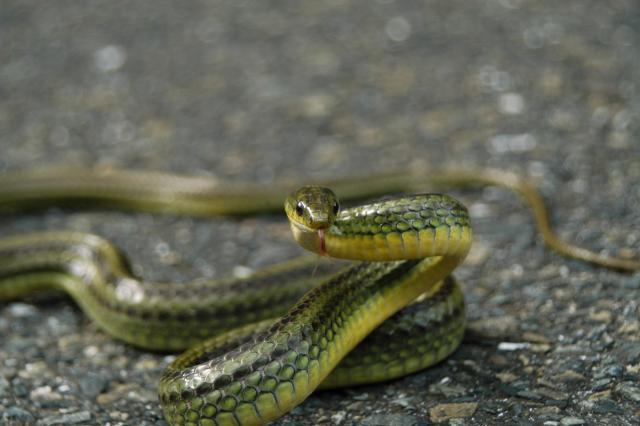 グアムでは「ナンヨウオオガシラ」(ミナミオオガシラ)という外来種のヘビが第二次大戦後に数を増やした。写真は同じナミヘビ科に属するリュウキュウアオヘビ。奄美大島で撮影された=2005年12月25日、稲野慎撮影