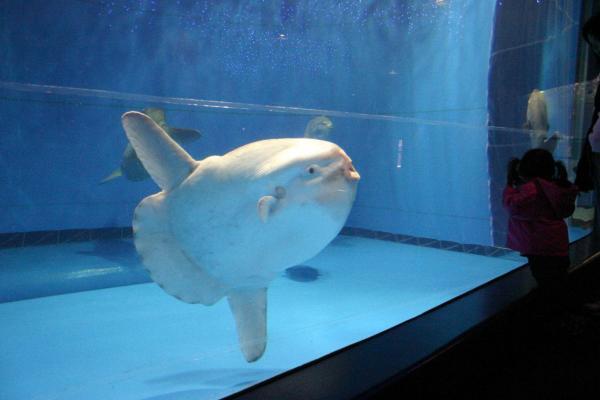 大きな水槽を悠々と泳ぐマンボウ =2006年4月1日