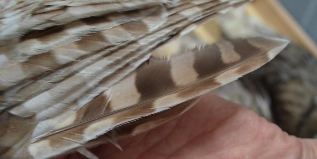 フクロウの羽根。先にギザギザの構造があります