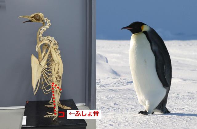 コウテイペンギンの骨格(左、撮影協力 国立科学博物館)と南極のコウテイペンギン(出典:朝日新聞)。ペンギンは「ふしょ骨」という足の甲部分の骨が短い