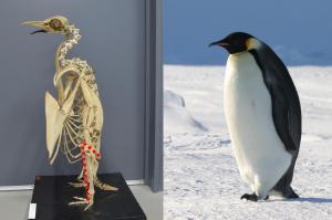 フクロウとペンギン「足が長い」って本当? 羽毛の中にあったのは…