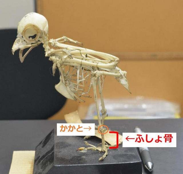 「アオバズク」という小型のフクロウの骨格。