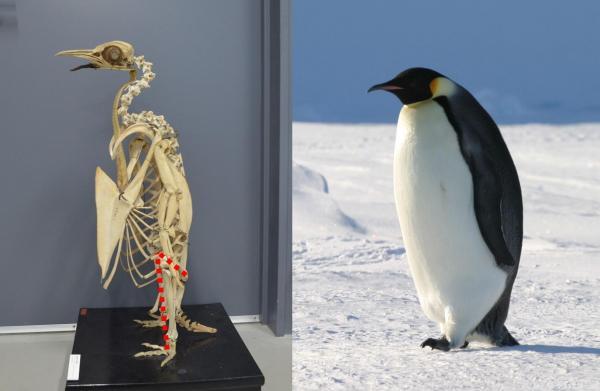 コウテイペンギンの骨格(左、撮影協力 国立科学博物館)と南極のコウテイペンギン(出典:朝日新聞)