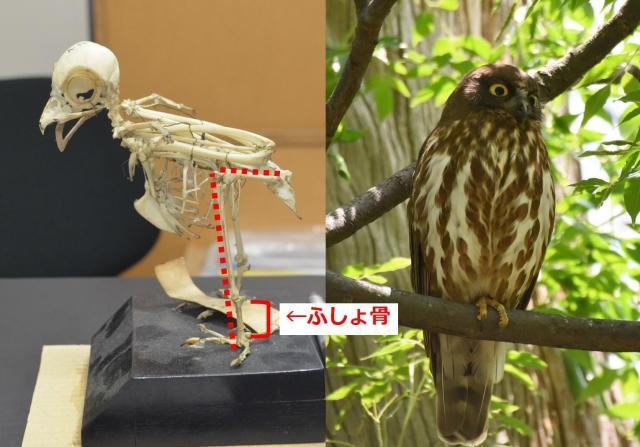アオバズクの骨格(左、撮影協力 国立科学博物館)と木にとまるアオバズク(出典:朝日新聞)。