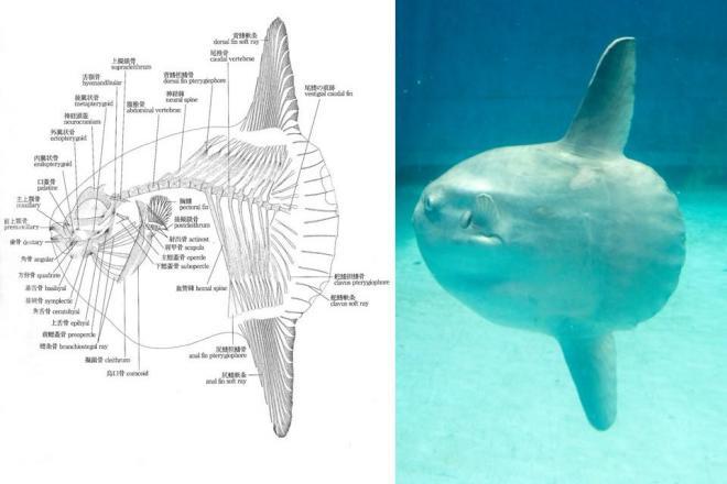 マンボウの骨格の図(左:資料提供 海遊館)とマンボウ(PIXTA)