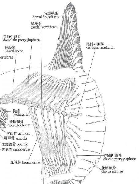 マンボウの骨格図