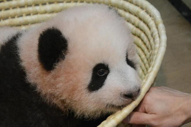 「シャンシャン」に名前が決まった上野動物園のジャイアントパンダの赤ちゃん=