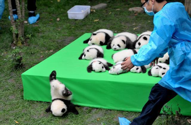 2016年に生まれた23頭のパンダの赤ちゃんたち、一頭が舞台から落ちてきた=成都、四川省、2016年9月