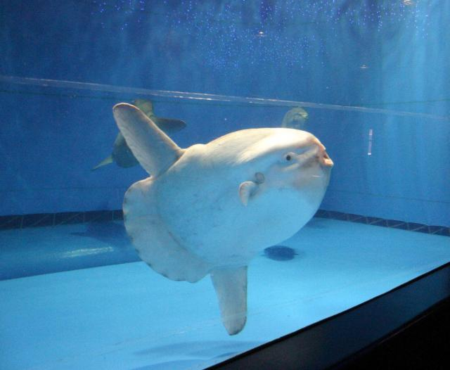 水槽を悠々と泳ぐマンボウ=2006年4月1日撮影