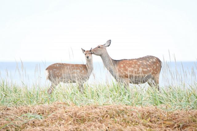 顔をなめられて嫌がるそぶりを見せるエゾシカ=9月、北海道・野付半島、白井伸洋撮影