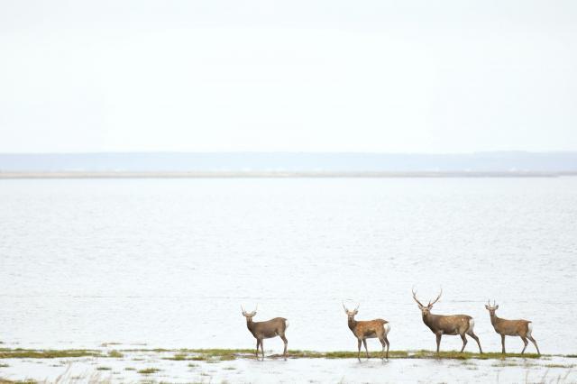 海際でじっと記者の方を見つめてくるエゾシカ=9月、北海道・野付半島、白井伸洋撮影