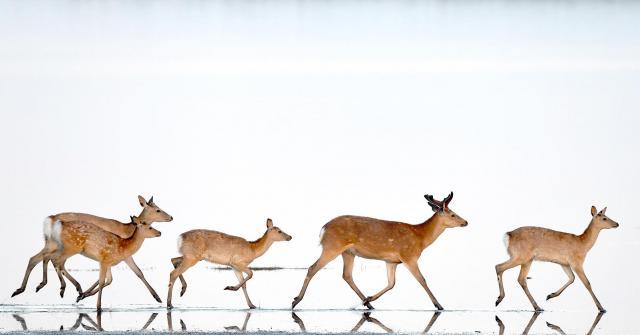 野付半島の海際を歩くエゾシカの一群=6月17日早朝、北海道・野付半島、白井伸洋撮影
