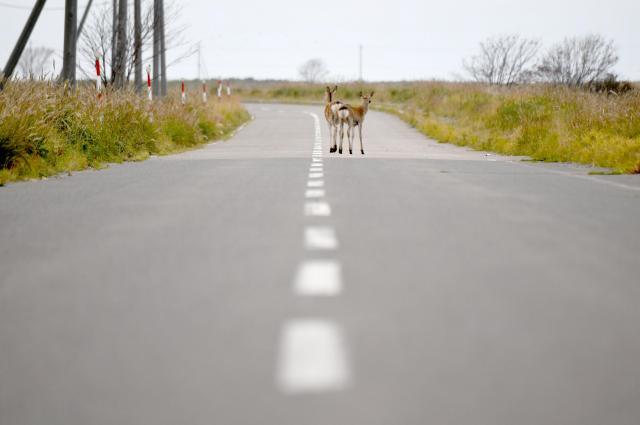 一本道を歩くエゾシカ。一瞬、後ろを振り返った=9月、北海道・野付半島、白井伸洋撮影