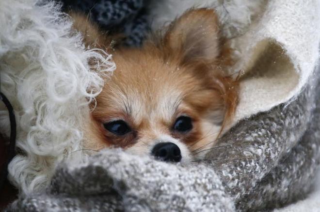 毛布にくるまるチワワ=ロシア・カドニコヴォ、ロイター