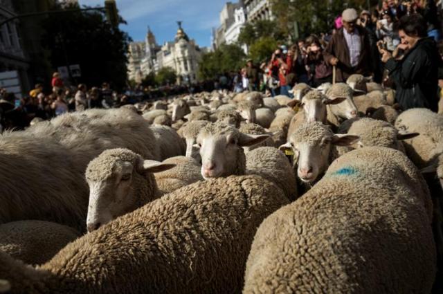 スペインのマドリードの広場に現れた羊=ロイター