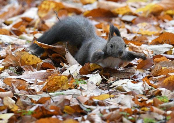 落ち葉のじゅうたんの上を走り回るエゾリス=10月22日、北海道音更町、白井伸洋撮影