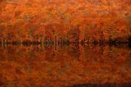 黄色いブナが朝焼けで赤みを帯び、水面に輝いた=2017年10月24日午前6時30分、青森県十和田市の蔦(つた)沼、福留庸友撮影