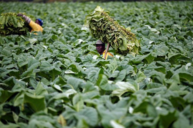 ジンバブエの首都ハラレ東方の農場で、タバコの葉を収穫する人たち=2017年11月28日