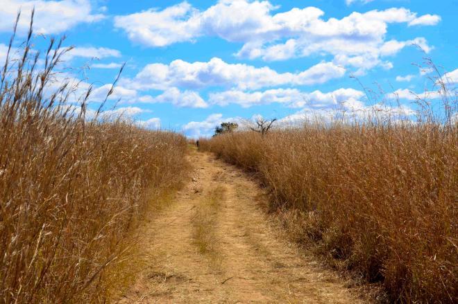 耕作放棄され、雑草が生い茂るジンバブエ北部の旧白人農地=2013年8月3日、杉山正撮影